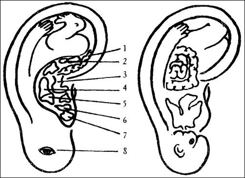 Проекция органов на ухо
